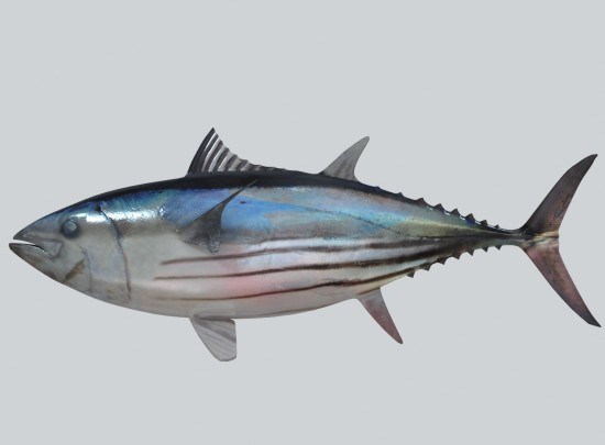 variety of tuna fish and their significance