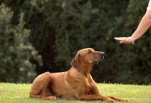 How can you Effectively Train Guard Dogs