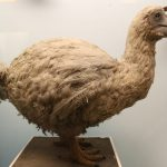 Top 5 Facts about Dodo Bird