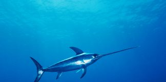 Some lesser known facts about Swordfish