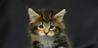 Tabby Cat Some Interesting Facts