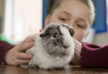 5 mistakes Guinea pig owners commit