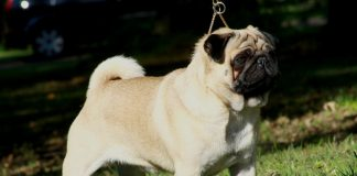 5 Things To Know When You Get A Pug