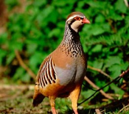Caring Most Unusual Partridges The Pets Central