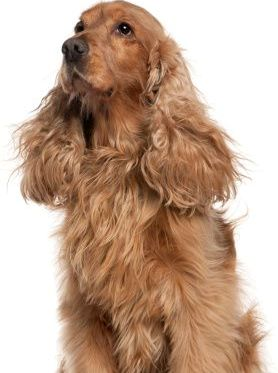Important Tips For Grooming Cocker Spaniel The Pets Central
