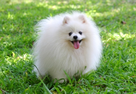 Pomeranian Dogs Facts