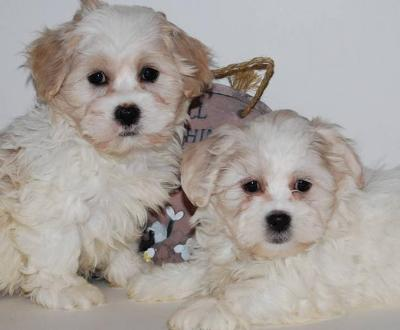How to Care for Shichon Puppies