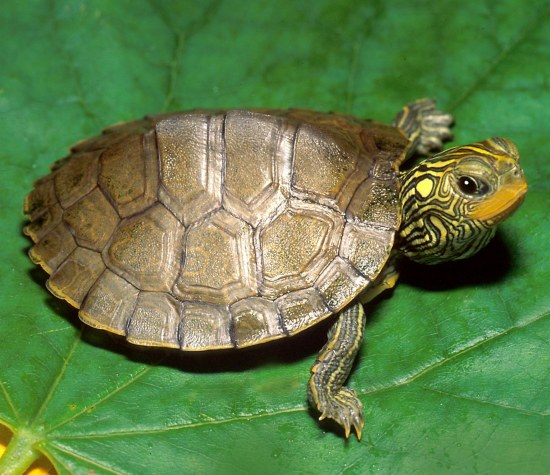 myths and realities associated with turtles