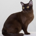 the burmese cat