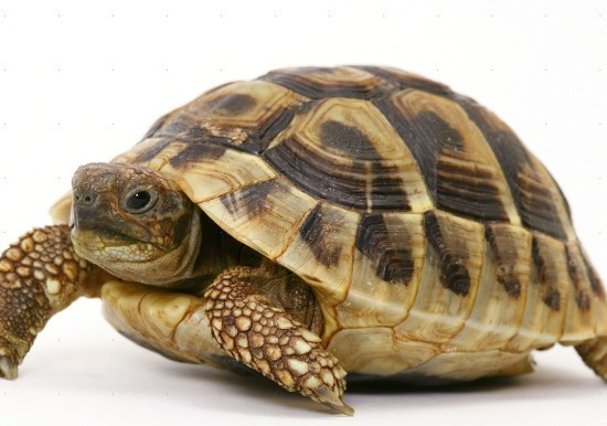 tortoises and turtles difference