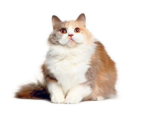 overweight cat health problems