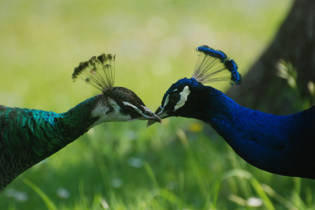 differences between male and female peacocks