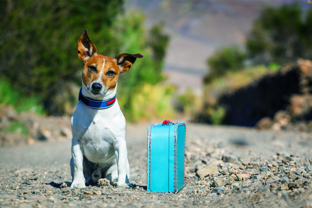 deal with your dog if you have urgent travel plans