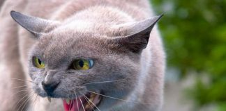7 Most dangerous cats to own as pets