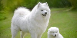 5 Facts About the Samoyed Dog Breed