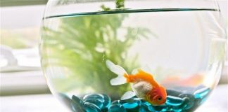 5 Fishes for Small Aquarium